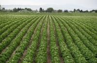 A potato field in Idaho, United States.