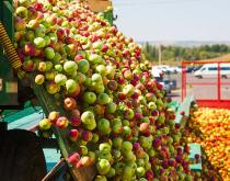 Apples being prepared for shipment.