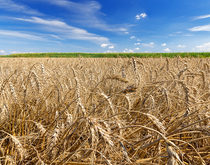 Wheat production is expected to rise 13 percent year-over-year in 2016 as other crops are also expected to come in above 2015 levels.