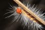Asian gypsy moth caterpillar