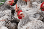 Chickens. USDA photo by Lance Cheung.